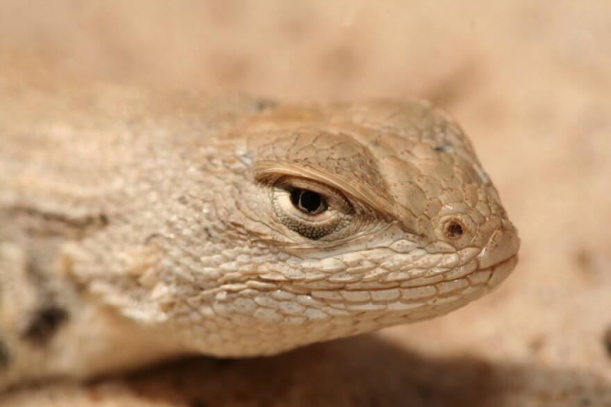 The dunes sagebrush lizard