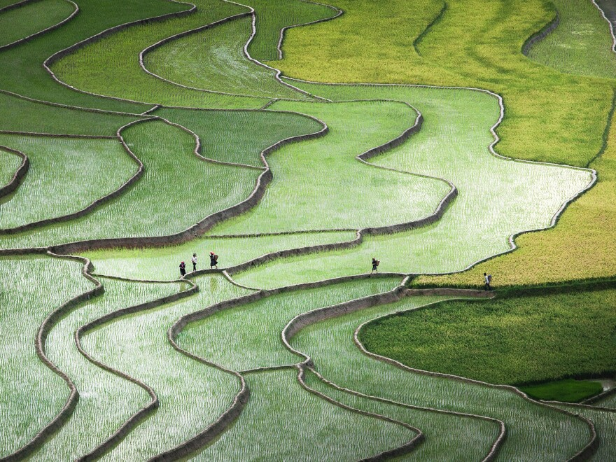 At the terraced rice paddies in the Tu Le Valley of Vietnam, the Hmong people cross the fields on their way home.