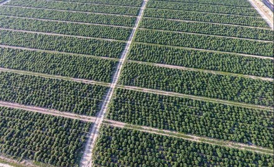 Rows of industrial hemp in a field in Colorado