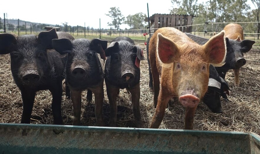 Photo of pigs on a farm