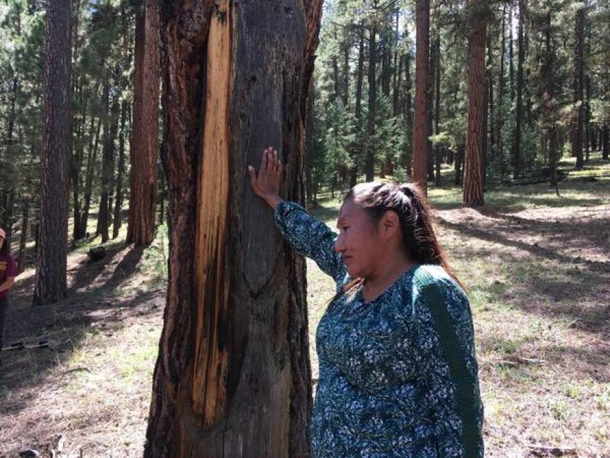 Cassandra Atencio stands next to a Ponderosa pine tree. Some time ago, members of her tribe likely stripped the bark from one side and then removed wooden planks.