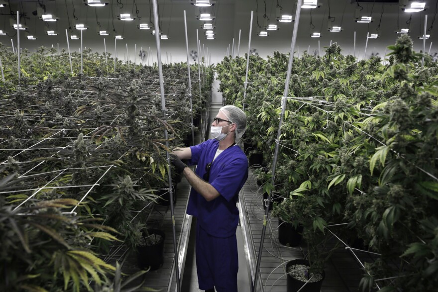 In this June 28, 2017 photo, Alessandro Cesario, the director of cultivation, works with marijuana plants at the Desert Grown Farms cultivation facility in Las Vegas. (John Locher/AP)