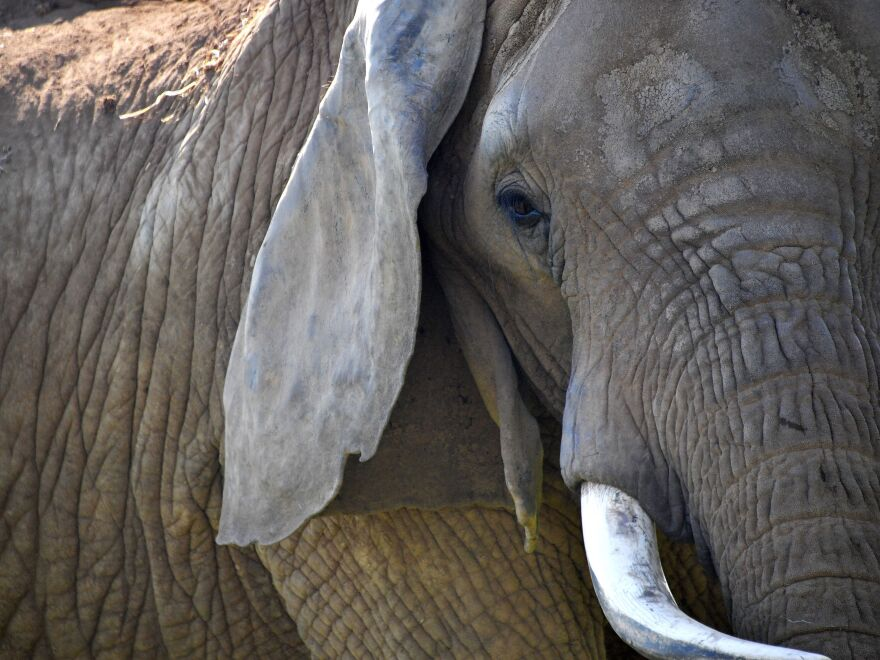 China's ban on the domestic ivory trade took effect Sunday.
