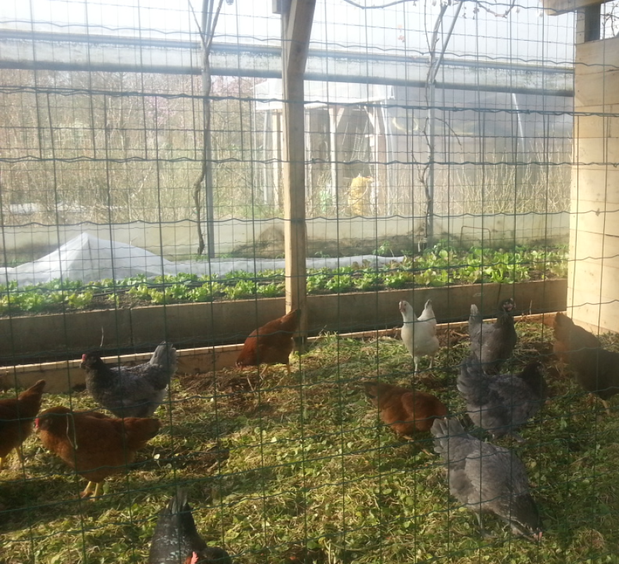permaculture-chickens.png