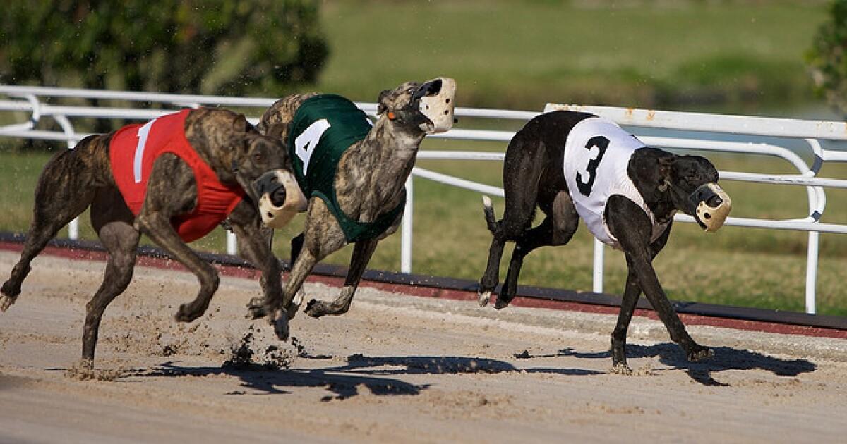 greyhound on steroids