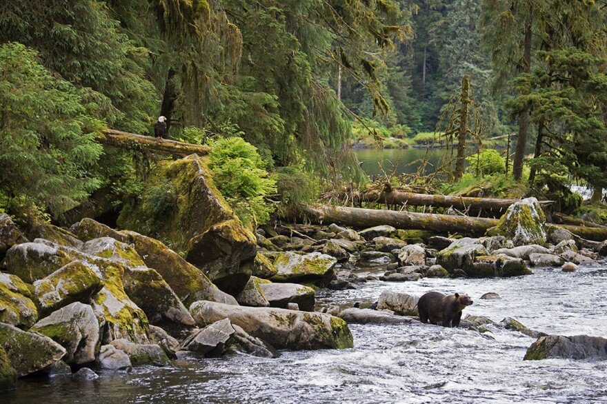 Nearly 5,000 salmon spawning streams throughout the Tongass National Forest provide an abundance of food for a variety of species including bears, eagles, ravens, and people. (©Amy Gulick/amygulick.com)