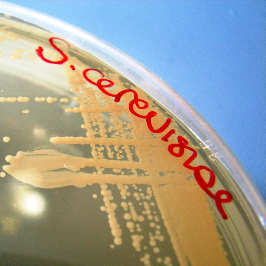 Portland is poised to make<em> Saccharomyces cerevisiae</em> the first microbe with official state recognition.