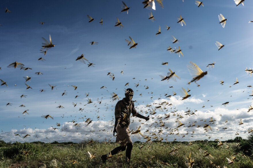 In the worst swarms in decades, tens of billions of locusts descended on Kenya, Somalia and Ethiopia, destroying livelihoods and food supplies. A man chases away a swarm of desert locusts early in the morning on May 21 in Samburu County, Kenya.