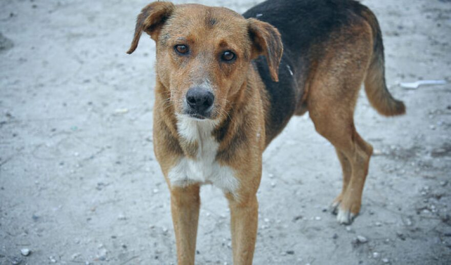 Stray_Dog_Bahamas-620x365.jpg