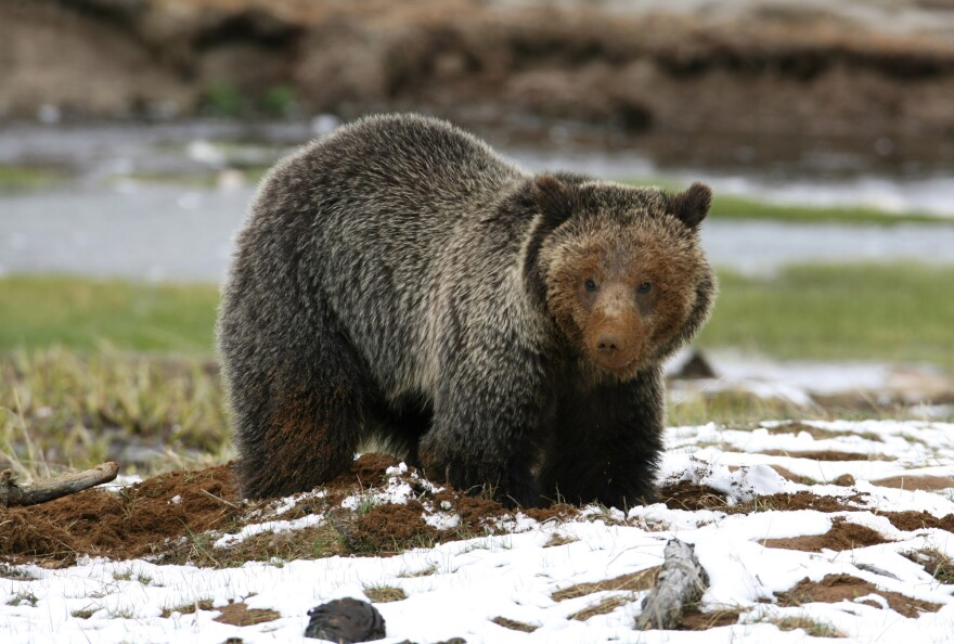 grizzly_in_yellowstone.jpg