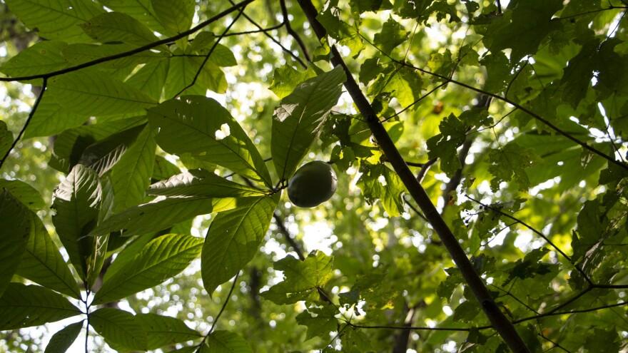 Pawpaw-On Tree-Koscho.jpg