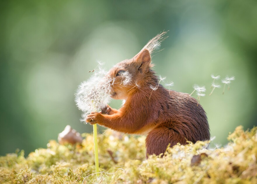 This squirrel in Sweden better have some wishes in mind — and fast — with the wind blowing those dandelion seeds like that.