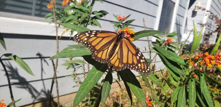 A monarch butterfly in a reporter's yard during summer 2020.