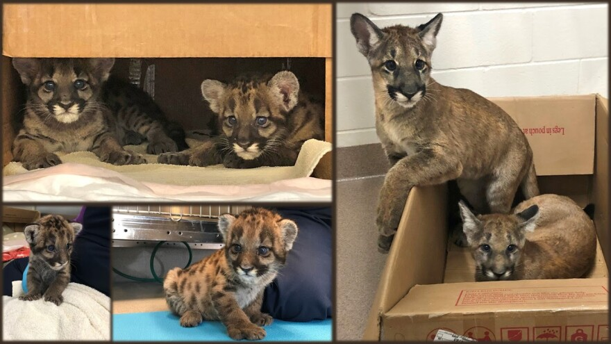 Panther kittens Cypress and Pepper show no signs of the neurological condition that is causing Florida's big cats, including their mother, to walk strangely. The cats are aprox. 2 weeks old on left and five months old on right. CREDIT FWC and BluePearl