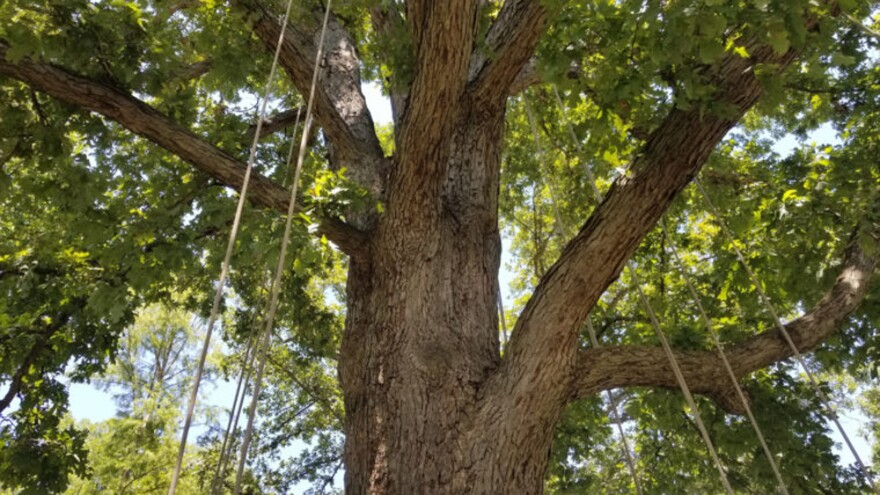 """An oak tree at the U.S. National Arboretum set up for a """"fun climb"""" — it's smaller than the trees used in the competitive climbs. (Carmel Delshad/WAMU)"""