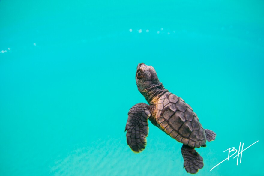 Loggerhead sea turtles are most commonly seen in South Florida beaches.
