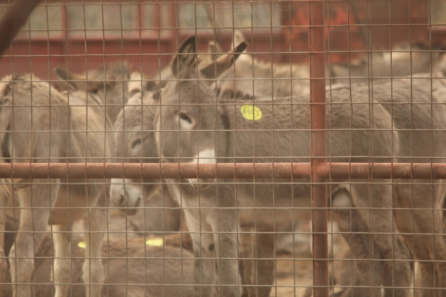 """Donkeys with """"kill tags,"""" wait in export pens in Eagle Pass, Texas, destined for slaughterhouses in Mexico. Chinese are buying up donkey skins around the world to use in making traditional medicine."""