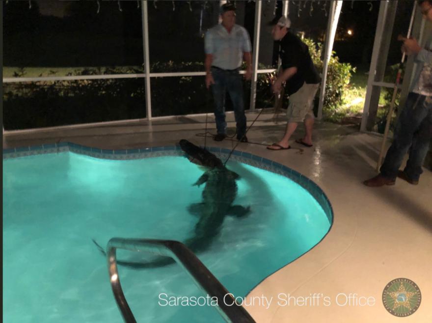 gator_in_pool_sarasota_county_sheriff_s_dept.png