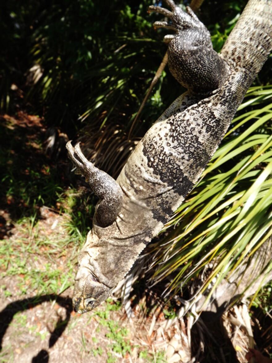 Black-Spiny-Tail-Iguana.jpg