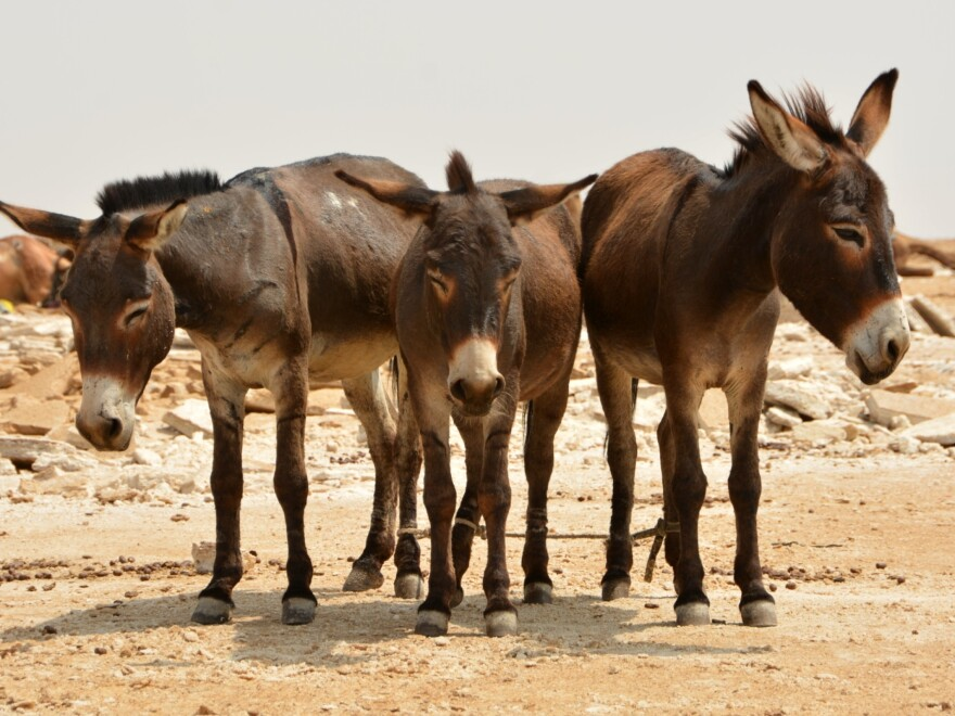 Donkeys in Africa are among those slaughtered so their hides can be sent to China.
