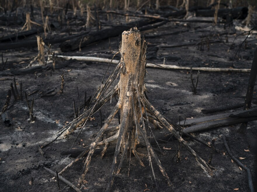 A cut tree stands in a burned area in Prainha, Para state, Brazil. A U.N. report says habitat loss is leading to more animal-to-human transmission of disease.