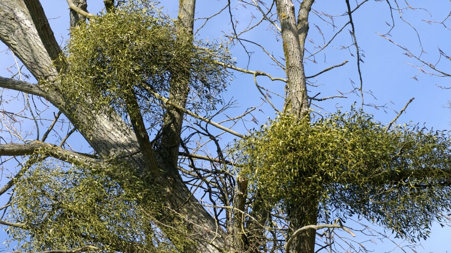 Researchers in Australia found that when they removed mistletoe from large sections of forests, vast numbers of birds left.