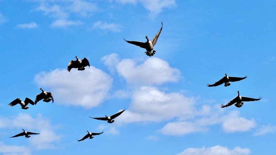 geese fly overhead