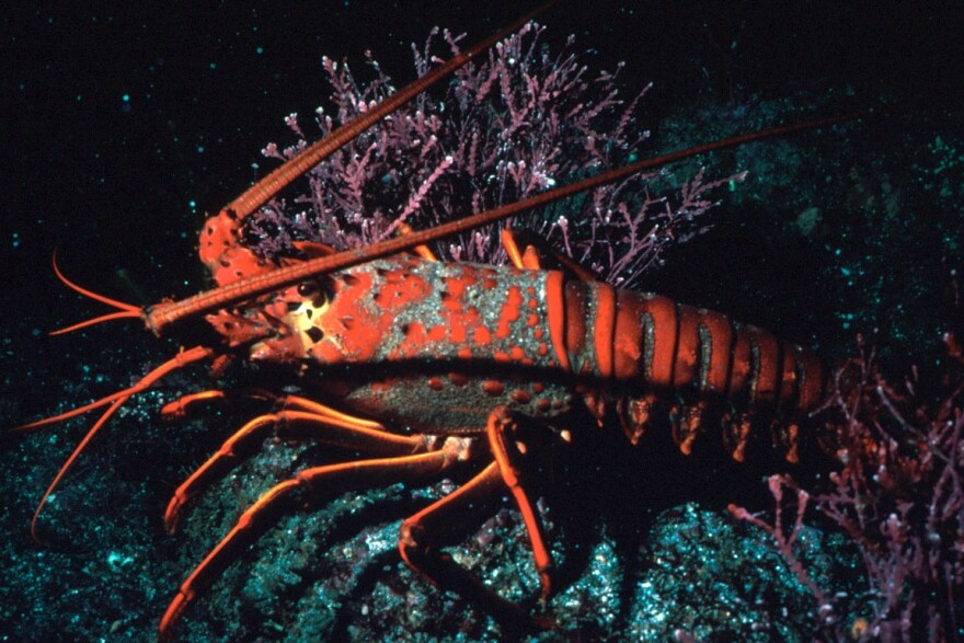 A Florida saltwater fishing license and a lobster stamp are required to take spiny lobsters.