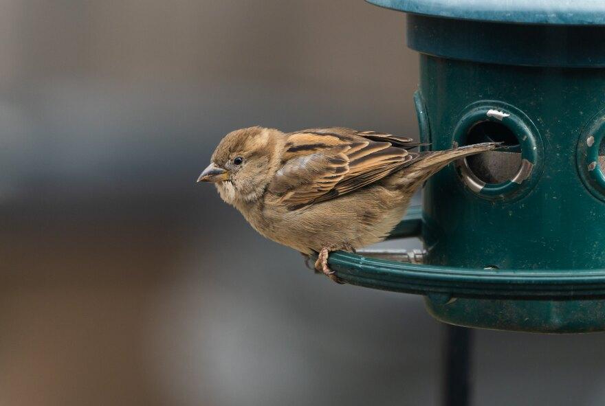 closeup of sparrow at a green bird feeder