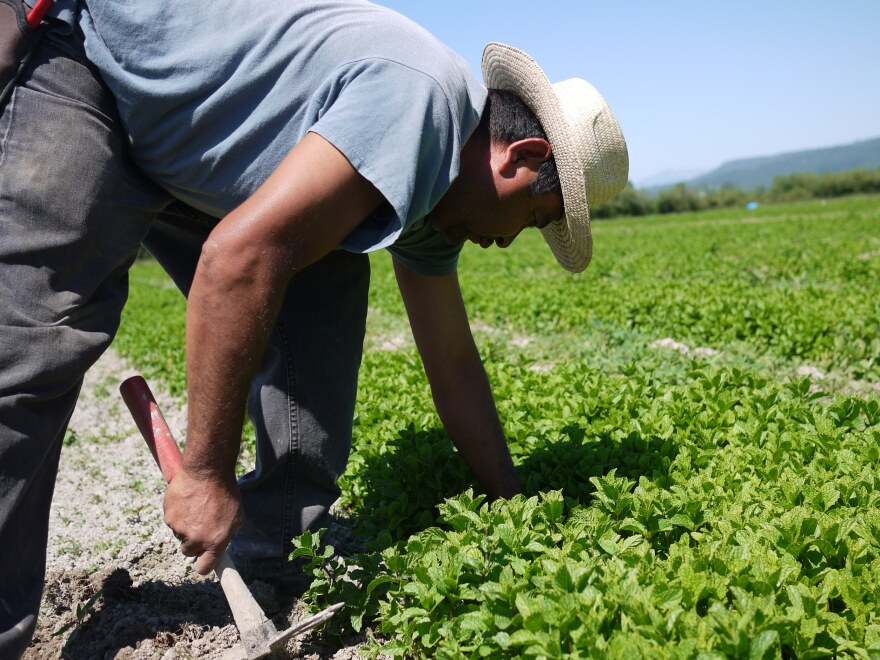 Celerino Sanchez, an H-2A worker from Guerrero, Mexico, weeds rows of mint at HerbCo International in Duvall, Wash.
