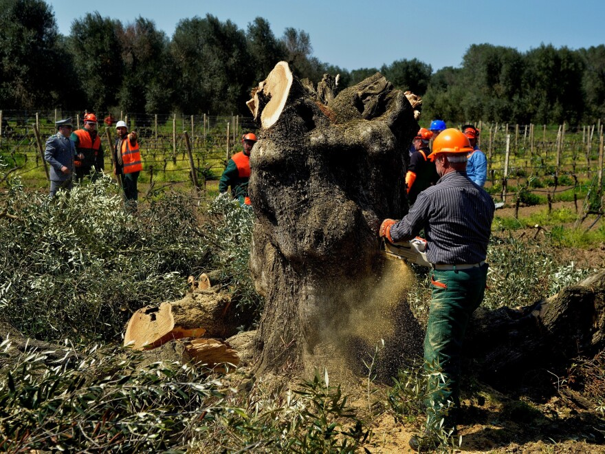 An olive tree is cut down in Oria, near Brindisi, southern Italy, Monday, April 13, 2015, in an attempt to keep a deadly pathogen —<em> xylella fastidiosa</em> — from spreading. Xylella, first detected in 2013, has ravaged southern Italy's olive trees and there's fear it could hit trees in Spain and Greece. Together these countries account for 95% of Europe's olive oil production.
