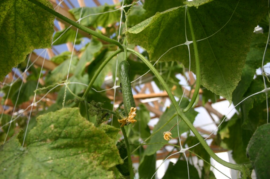 A hydroponic cucumber ready for harvest inside Central State's aquaponics facility