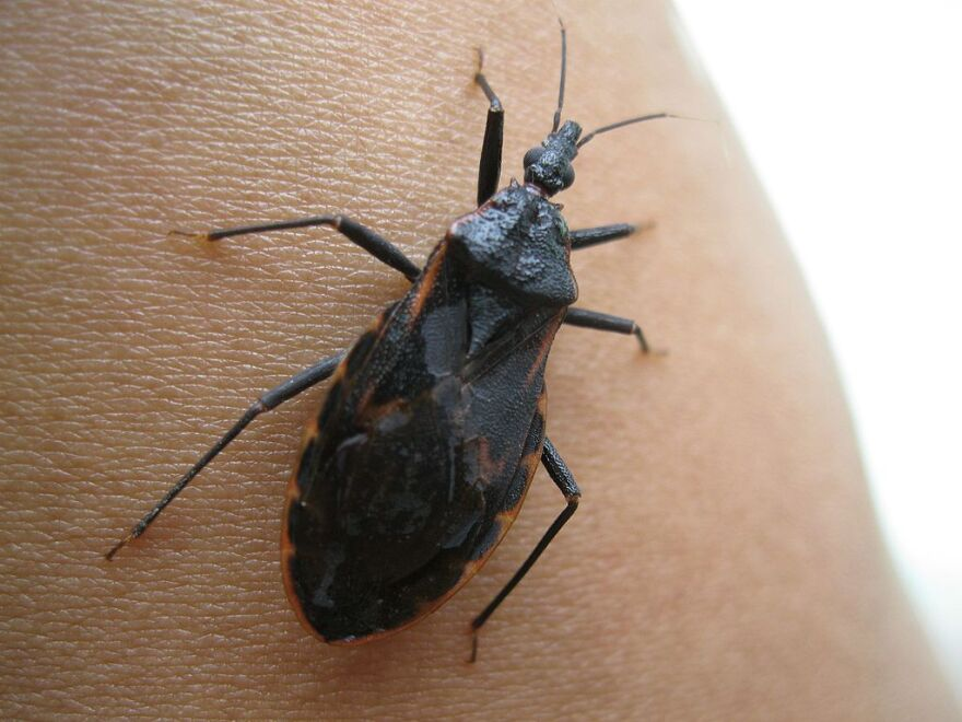 Triatoma is a genus of assassin bug in the subfamily Triatominae (kissing bugs).