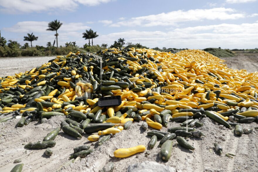 A pile of ripe squash sits in a field in Homestead. Thousands of acres of fruits and vegetables grown in Florida are being plowed over or left to rot because farmers can't sell to restaurants, theme parks or schools nationwide that have closed.