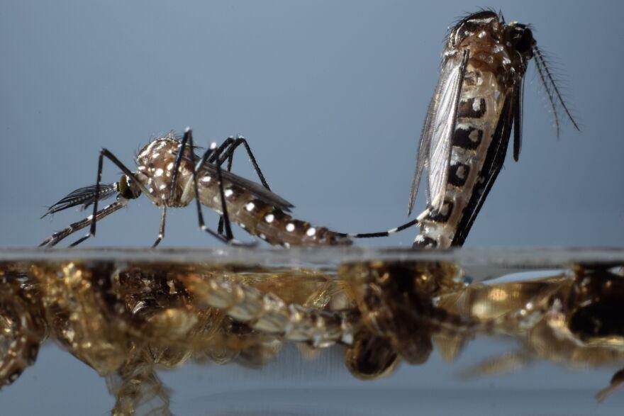 Aedes aegypti mosquito pupae emerging.