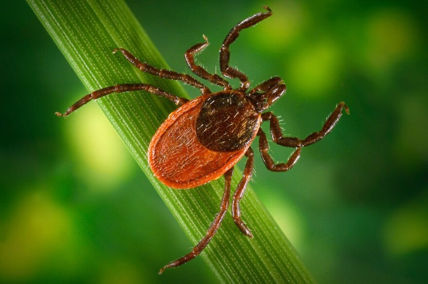 An adult deer tick. A bite from one can lead to Lyme disease.