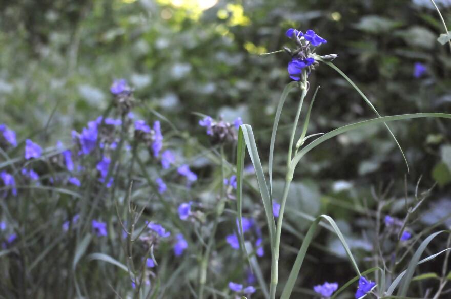 Native flowers growing alongside the Katy Trail near St. Charles.