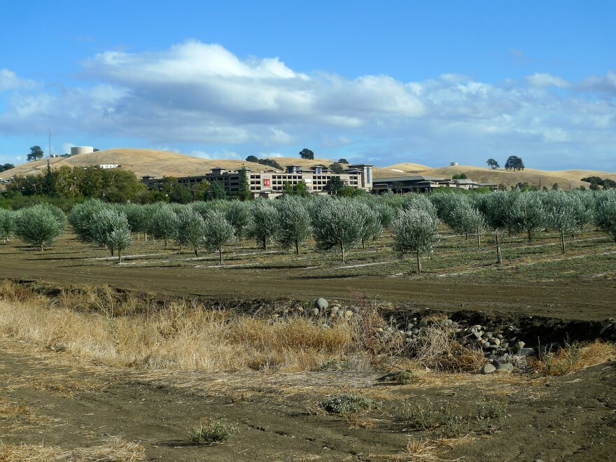 Olive trees belonging to the Yocha Dehe Wintun Nation, with their Cache Creek Casino in the background.