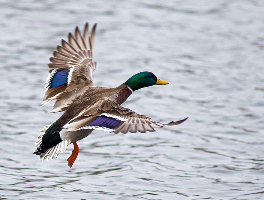 111020-mallard-duck-wikimedia