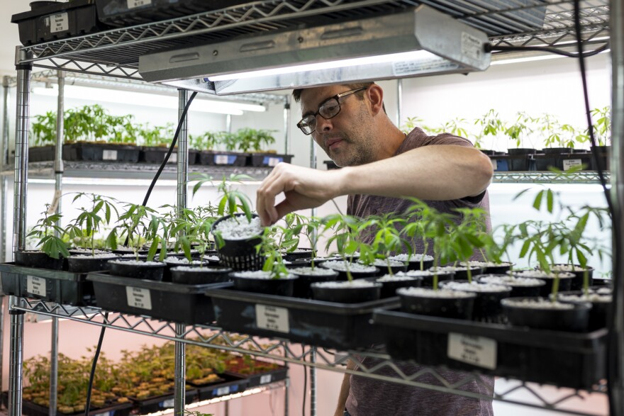 John Curtis, co-owner of BeLeaf Medical, inspects seedlings in the nursery of the company's cultivation facility located in Earth City.