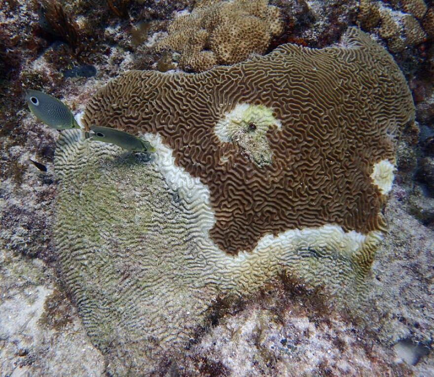 stony_coral_disease_on_reef.jpg
