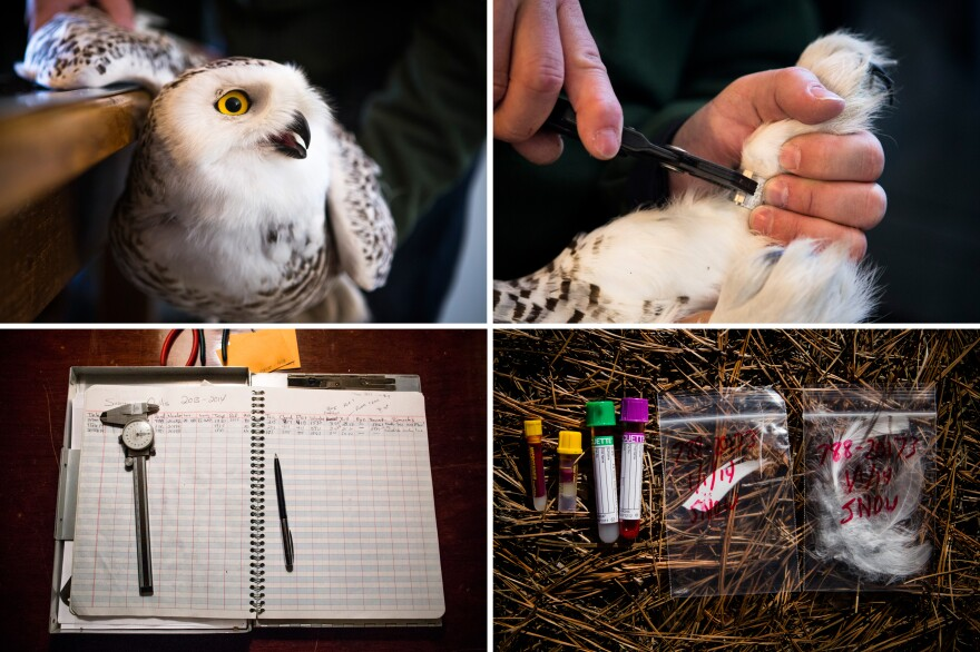 The snowy owl tagging process — wing measurements, banding, and blood and feather samples.
