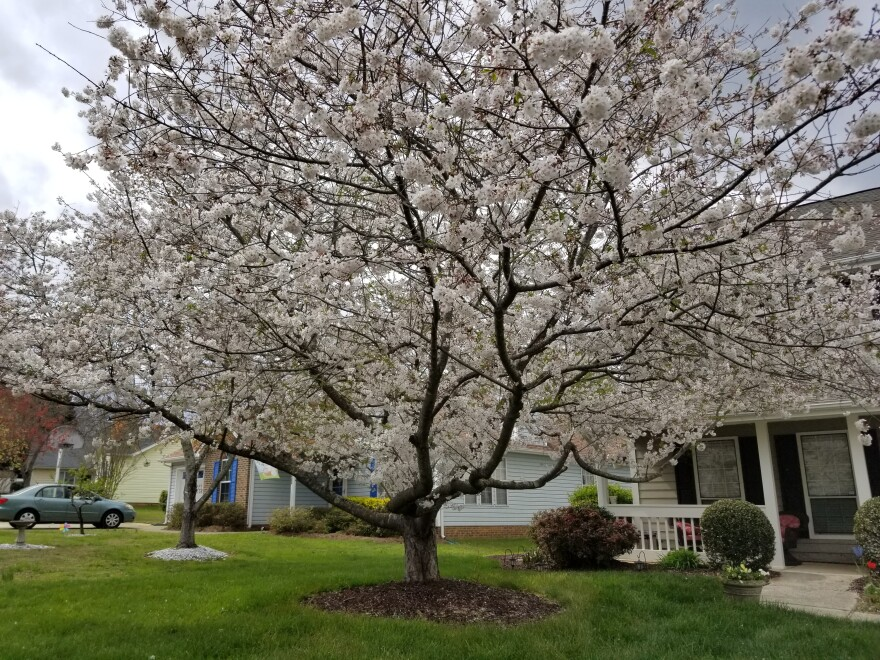 A Yoshino Cherry tree in east Charlotte is the 2019 Charlotte Tree of the Year.