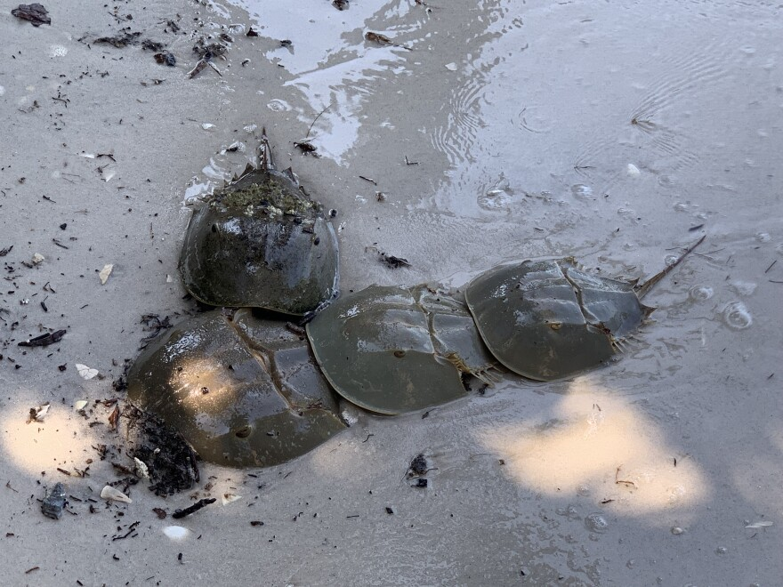 four horseshoe crabs in sand