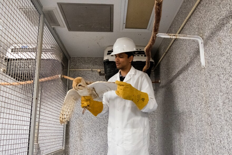 Nagaraj Mahajan, a researcher with Mysore, holds one of the barn owls in the basement lab at Johns Hopkins University. The team is trying to learn how the brain tunes out distractions and focuses on what's important.