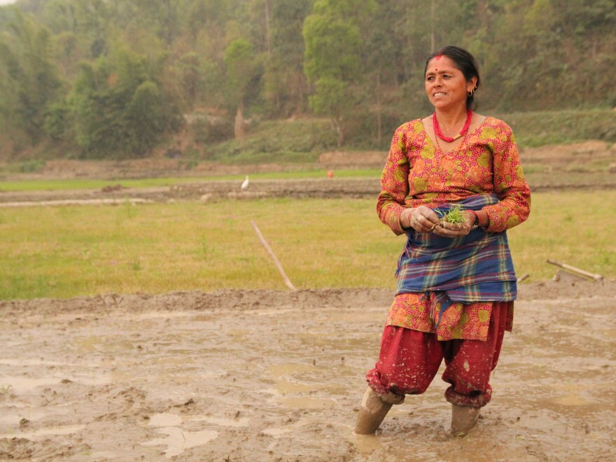 Apsara Bharati is watching over her field in Nepal, where she and her neighbors are using the system of rice intensification to plant seedlings.