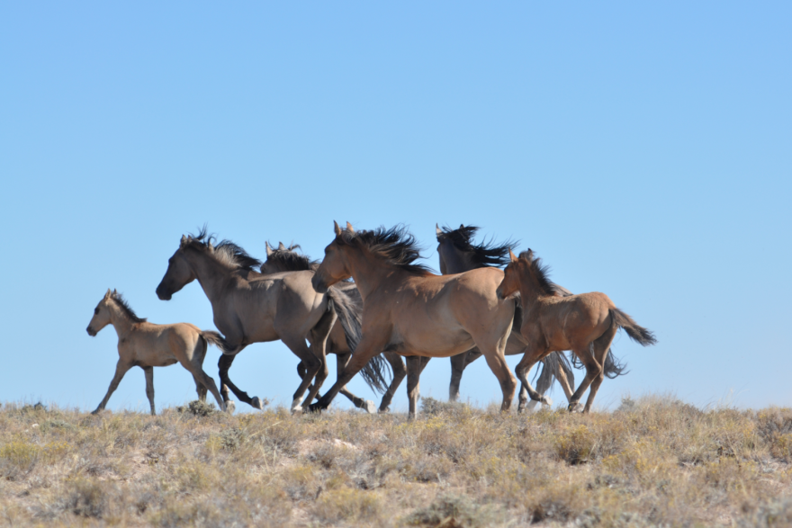 Herd of wild horses on BLM land.