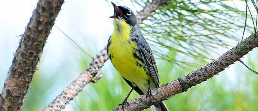 The endangered Kirtland's warbler, among other federally protected animal and plant species, could be delisted due to recovery.