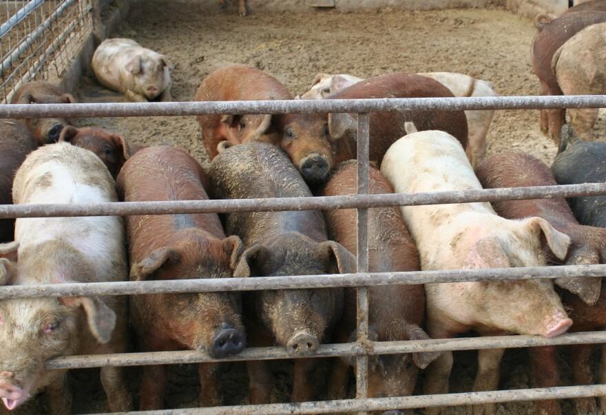Healthy_pigs_0.jpg