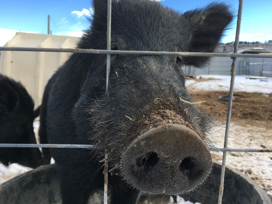 This wild hog from Hawaii was raised at the National Wildlife Research Center in Fort Collins, Colo. Feral pigs in the wild tend to eat anything containing a calorie — from rows of corn to sea turtle eggs, to baby deer and goats.